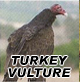 Turkey/ Vulture